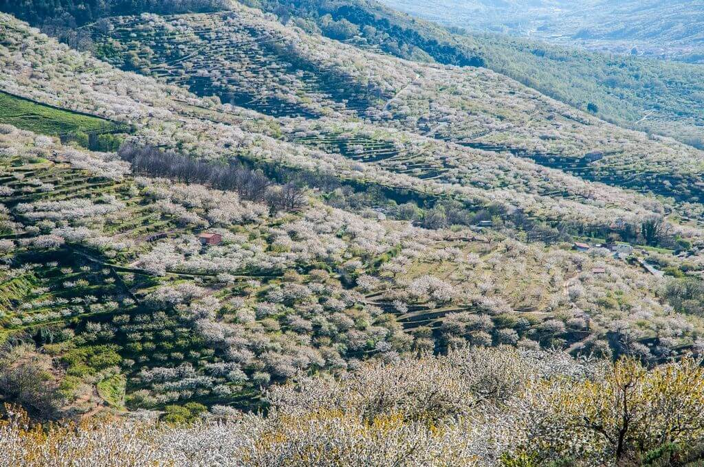 cerezos en flor valle del jerte 2018